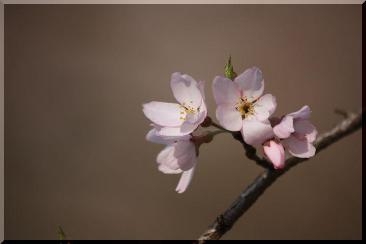 ~ 可児桜2