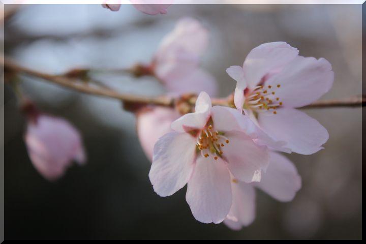 ~ 可児桜3