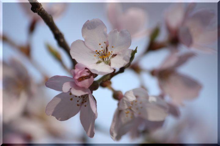 ~ 可児桜4