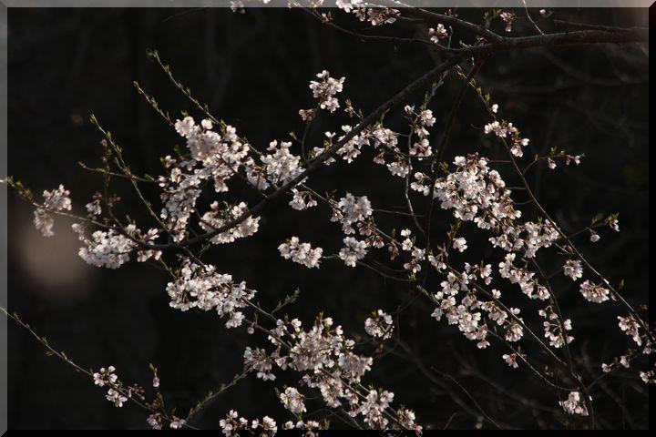 ~ 可児桜6