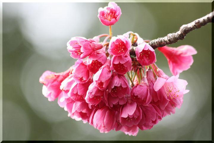 ~ 公園の桜1