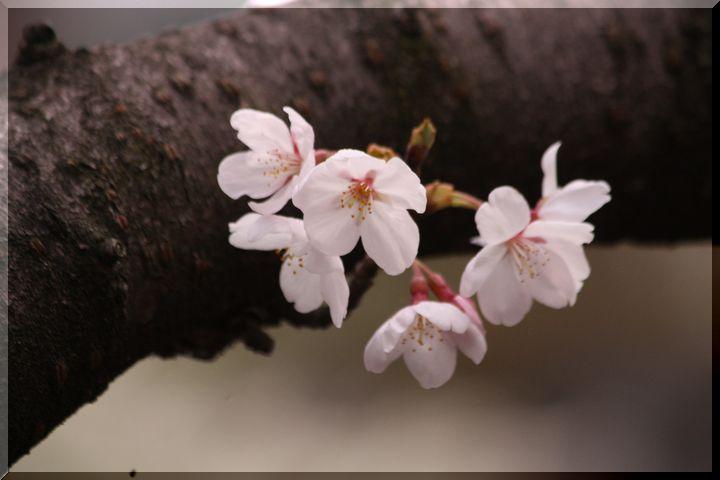 ~ 公園の桜10