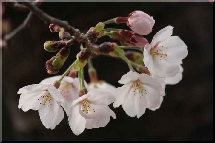 ~ 公園の桜4