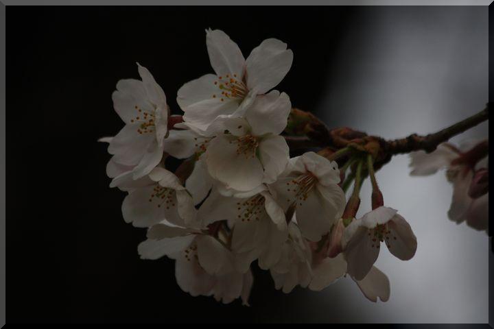 ~ 公園の桜6
