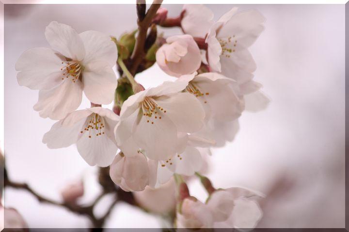 ~ 公園の桜7