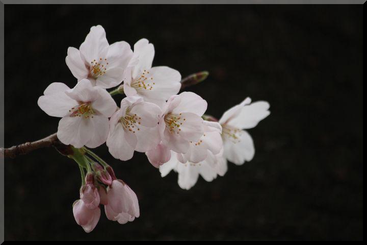 ~ 公園の桜8
