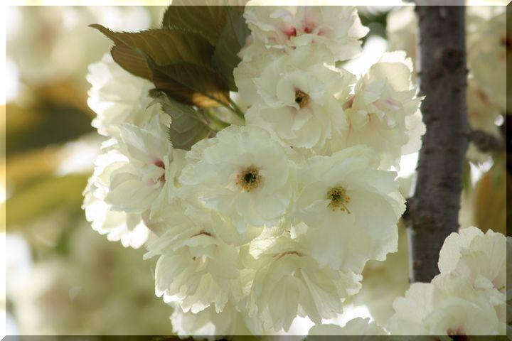 ~ 高桑桜 1 鬱金桜
