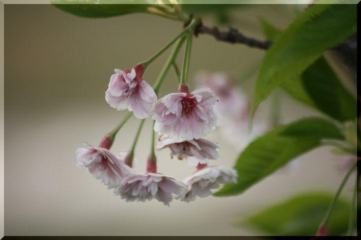 ~ 高桑桜2 冬桜