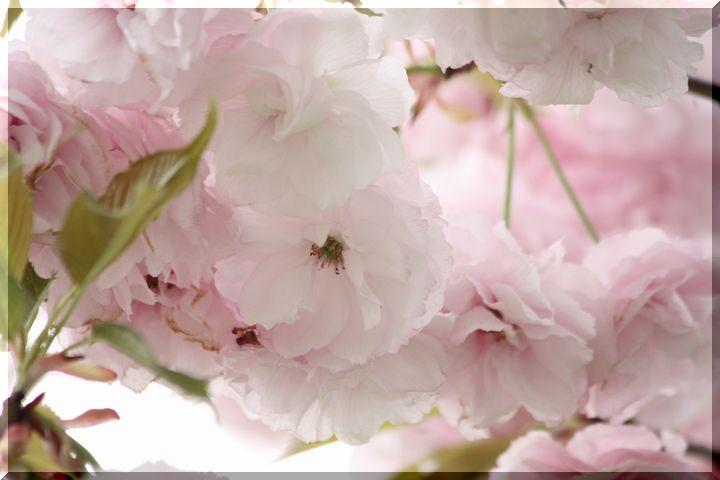 ~ 高桑桜3 ハナガサ