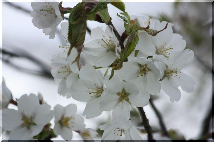~ 高桑桜8 高桑箒桜