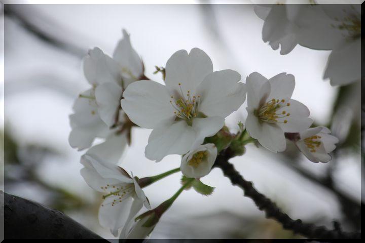 ~ 高桑桜9高桑箒桜