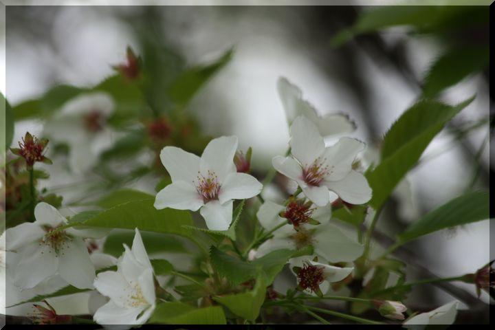 ~ 高桑桜10 たかくわ星桜