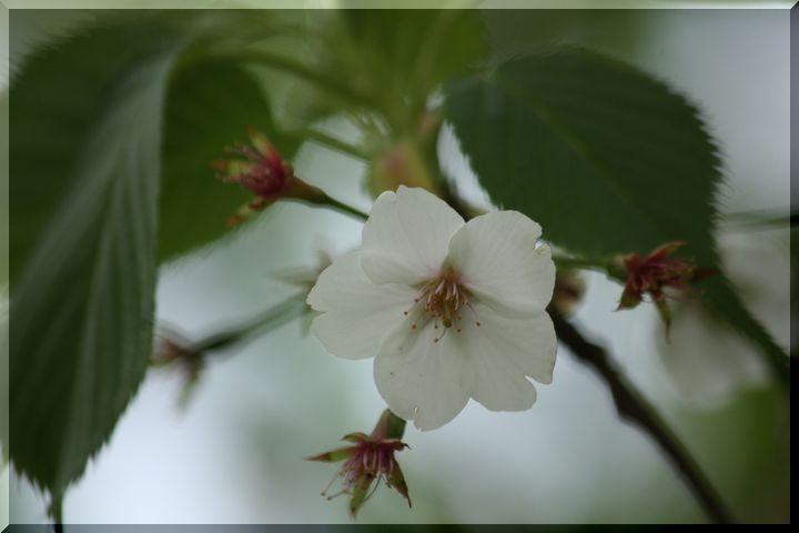 ~ 高桑桜12 高桑目覚桜