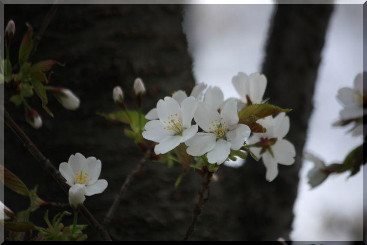 ~ 高桑桜13 高桑目覚桜