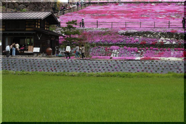 ~ 国田家の芝桜3