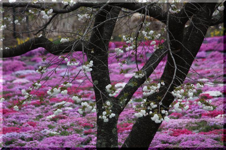 ~ 国田家の芝桜8