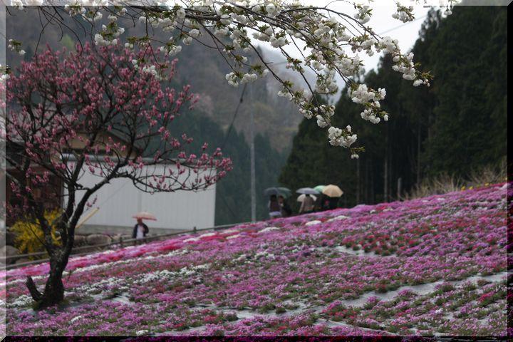 ~ 国田家の芝桜10