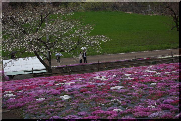 ~ 国田家の芝桜11