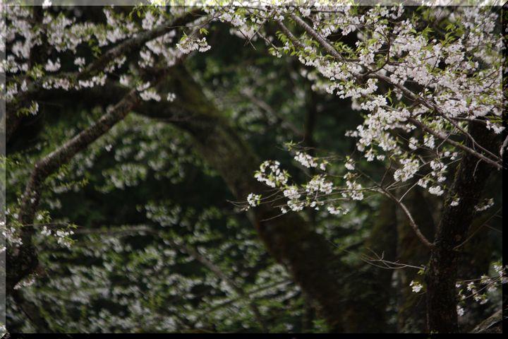 ~ 薄墨桜3