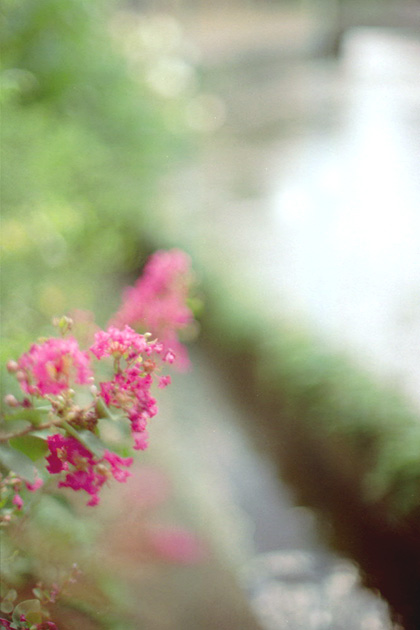 煌きと百日紅/水辺
