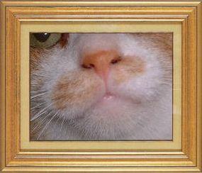 ねこ 猫 猫鼻祭り07番 金魚きんととさま家 つんちゃんのおはな-2