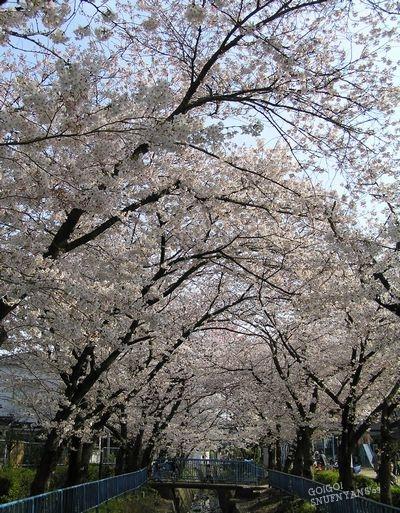 桜並木を発見