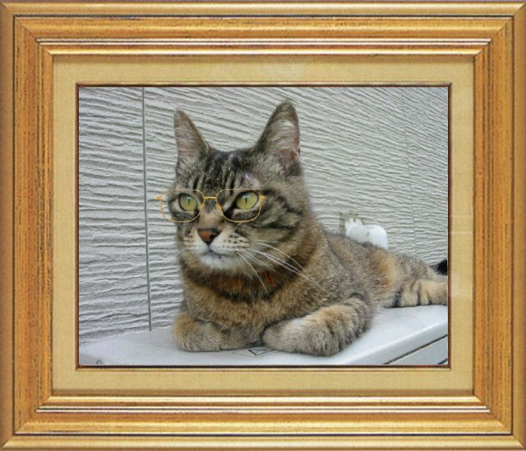 ねこ 猫 めがね祭り 08番 メガネ祭り08 由乃さま家猫ドンさん