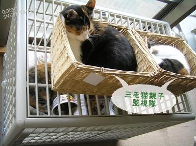 監視は三毛猫親子