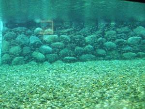 無数の数の鮭の稚魚が水槽の中を泳ぐ