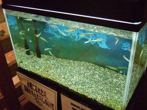 大観荘 せなみの湯の玄関に置かれていた鮭の稚魚の水槽
