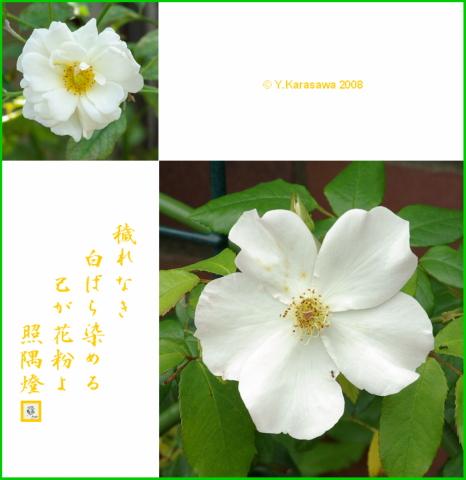 080717白バラ