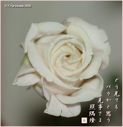080720バラ咲きトルコキキョウ