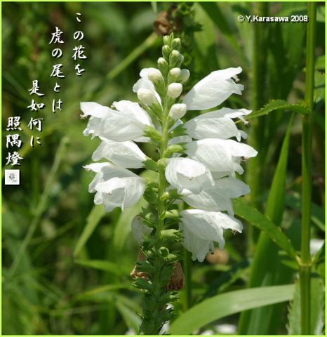 080727花虎の尾