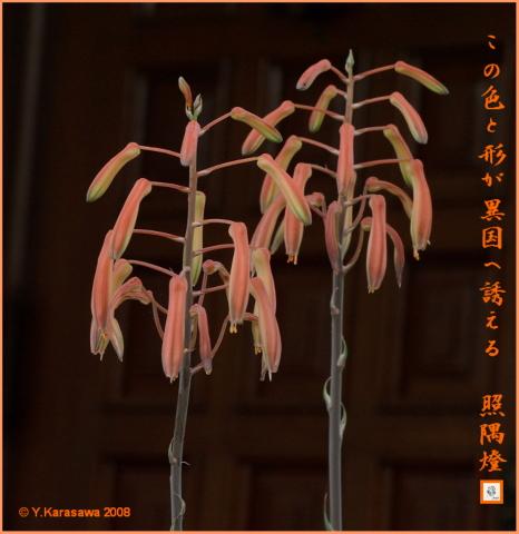080729サボテンの花