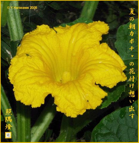 080731かぼちゃの花