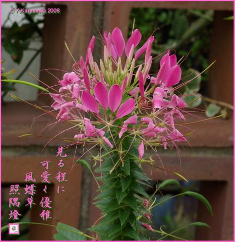 080808西洋風蝶草