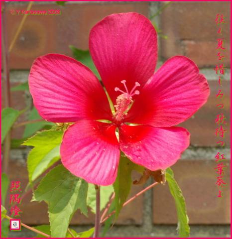 080910紅葉葵