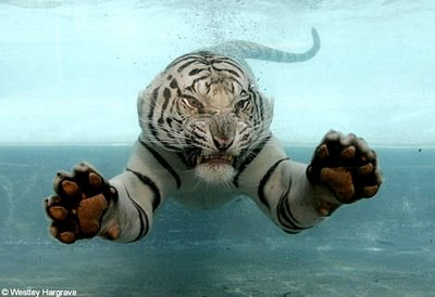 white-tiger-swimming-756390.jpg
