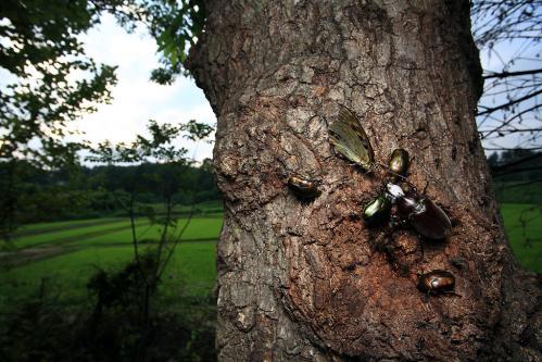 樹液に集まる虫