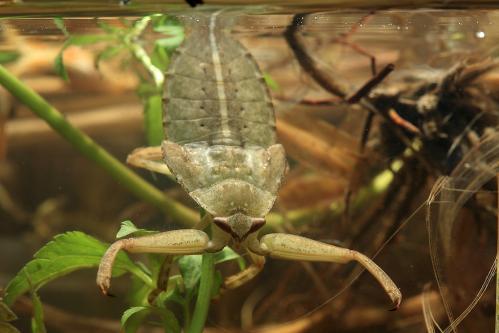 タガメ5齢幼虫