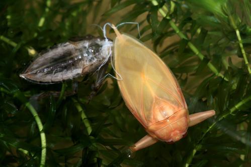 タガメ羽化6