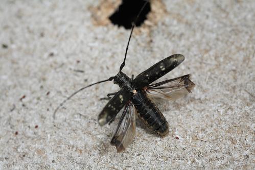 シラフヨツボシヒゲナガカミキリ