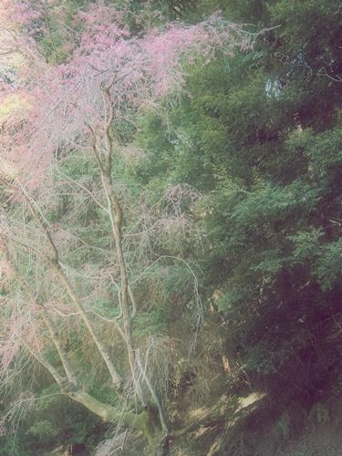 谷崎潤一郎の墓と桜