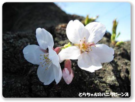 頑張る桜 あり!
