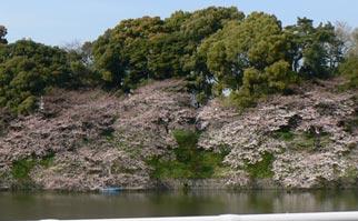 tonainosakura.jpg