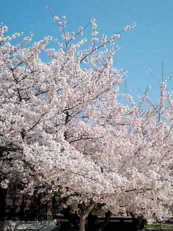 松山桜~1