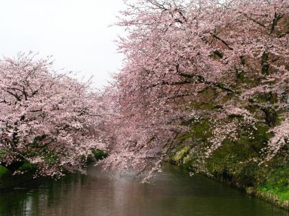 弘前桜~1