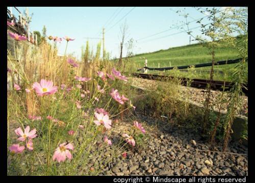 鉄路脇のコスモス