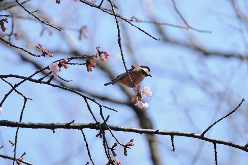 DSC_2103-210305大寒桜ヤマガラ-B