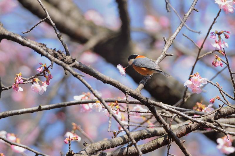 DSC_2142-210305大寒桜ヤマガラ-B